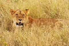 Lion de Mara de masai Photos libres de droits