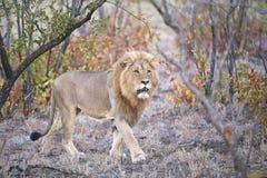 Lion de Mopaniveld Images stock