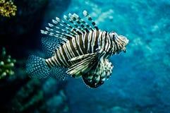 lion de poissons Image stock