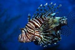 lion de poissons Photographie stock libre de droits