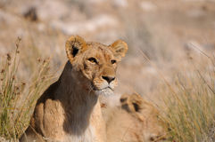Lion de regarder Photo stock