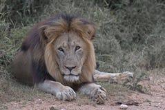 Lion de regarder Images stock