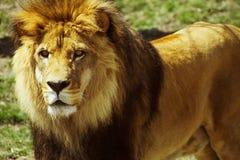 Lion de regarder Photos stock