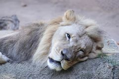 Lion de repos Photos stock