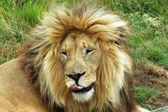 Lion de repos Image stock
