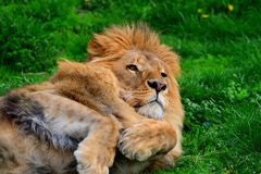 Lion de repos recherchant