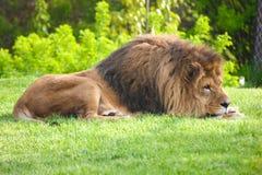 Lion de repos sur l'herbe verte photographie stock