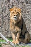 lion de roi photo stock