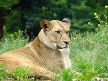 Lion de roi Image libre de droits