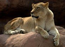 lion de roi de bêtes Photos libres de droits