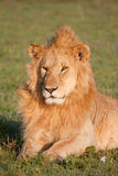 Lion de se baigner de Sun Images libres de droits