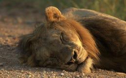 Lion de sommeil Photo libre de droits