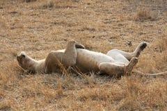 Lion de sommeil Images libres de droits