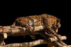 Lion de sommeil par Foxovsky Photos stock
