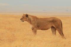 Lion de surveillance Image libre de droits