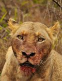 Lion Death Stare Stock Images