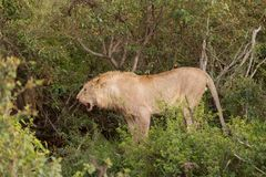 A lion defending its territory. A lion after eating its kill protecting its territory in the Maasai Mara Stock Photos
