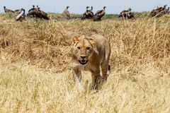 Lion - delta d'Okavango - Moremi N P Photo stock