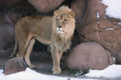 Lion in Den. Young male Lion watching from his den Stock Image