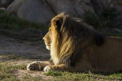Lion at Denver Zoo Royalty Free Stock Photo