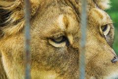 Lion derrière les barrières Tête, portrait, fin vers le haut de photo photos stock