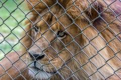 Lion derrière une barrière dans un zoo australien photo libre de droits