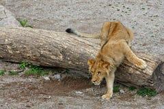 Lion descending. A lion descending a tree stump Royalty Free Stock Image