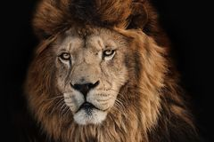 Lion desert on a black background. Lion Kruger on a black background. Wild hungry animal. Photo of the animal world stock images
