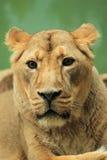 Lion detai. The detail of lioness (panthera leo Royalty Free Stock Photos