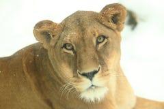 Lion detail Stock Photo