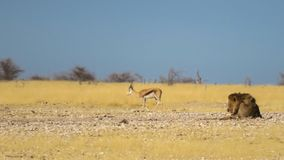 Springbok grazing while lion is lying close by. The lion did not mind the springbok grazing close by. Location Etosha National Park royalty free stock photos