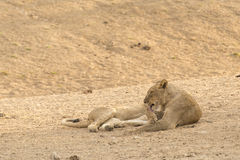 Lion after diner. A picture of a Lion in rest. He is licks his hand after a good diner Stock Image