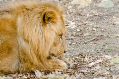 Lion dines with a large piece of meat. In the zoo Royalty Free Stock Photography