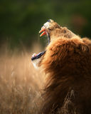 Lion displaying dangerous teeth Royalty Free Stock Image