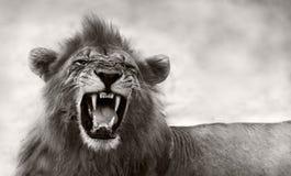 Lion displaying dangerous teeth stock photo