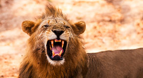 Lion displaying dangerous teeth. Wild African Male Lion Growling and Showing Dangerous Teeth Royalty Free Stock Photography
