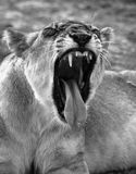 Lion displaying teeth Royalty Free Stock Photography