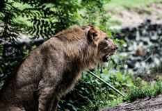 Lion Into the Distance. A lion looks into the distance Stock Photography