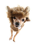 Lion dog Stock Images