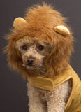 Lion Dog Headshot. A poodle dressed up like a lion, isolated on a gray background stock images