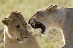 Lion domination. A female lion in Kenya's Masai Mara accerts her dominance over another lioness Royalty Free Stock Photos