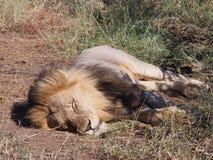 Lion dormant au soleil sur la plaine du Botswana images libres de droits