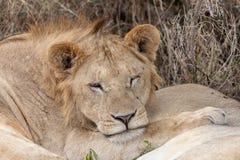 Lion dormant dans les prairies sur Masai Mara, Kenya Afrique photos stock