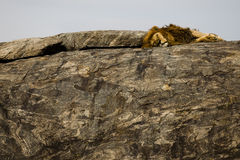 Lion dormant en stationnement national de Serengeti Image stock