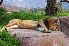 Lion dormant sur une roche Photo libre de droits
