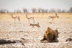 Lion drinking. Wild lion drinking, Etosha, Namibia Royalty Free Stock Image