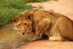 Lion drinking at water hole Stock Photos