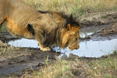 Lion is drinking a water from a puddle Stock Photos