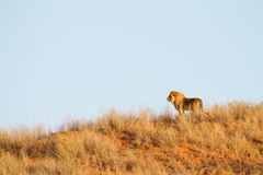 Lion on dune Royalty Free Stock Photography
