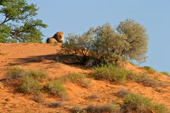 Lion on dune. A male African lion (Panthera leo) on a sand dune, Kalahari, South Africa royalty free stock photos